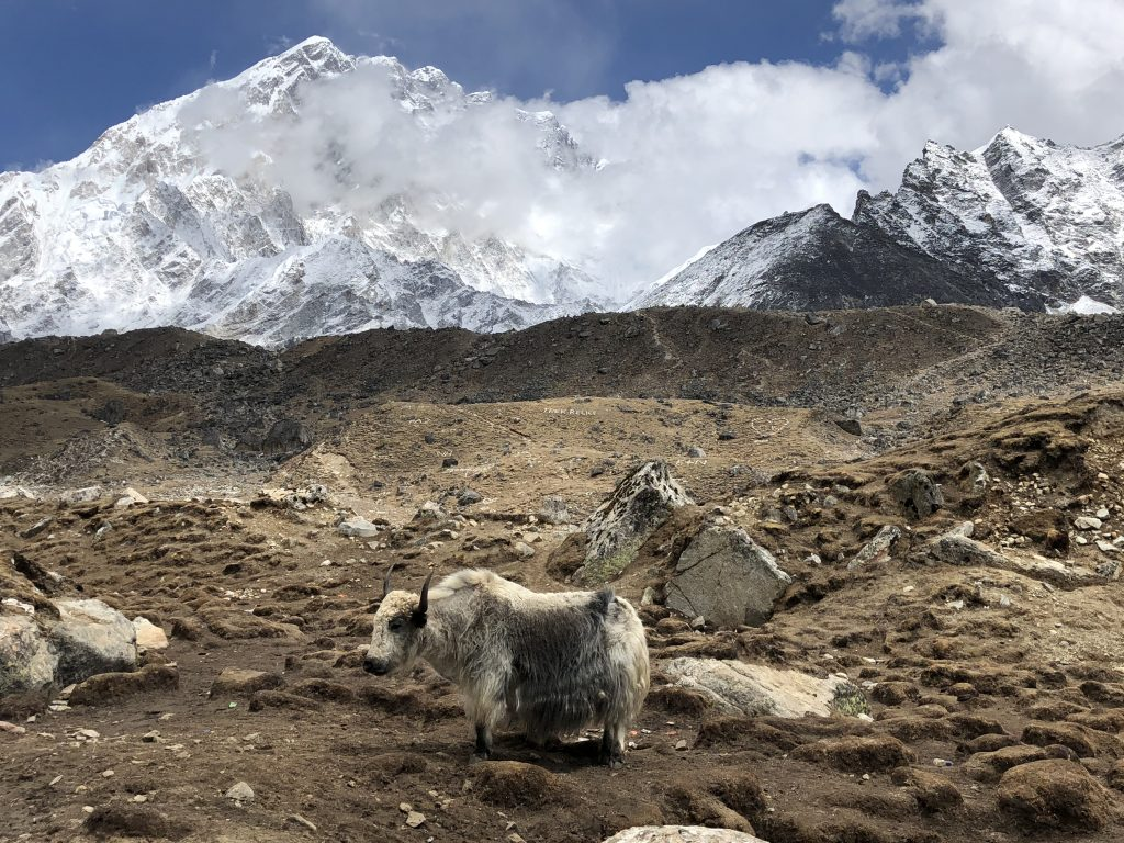 a yak stands on the dusty plains near Lobuche, the massive peak of Nuptse rising in the background